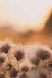 美好的日出光通过刺或bur开花与copyspace 垂直的图象 免版税库存照片