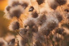 美好的日出光通过刺或bur开花 图库摄影