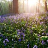 美好的日出在会开蓝色钟形花的草森林里春天 库存照片