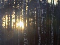 美好的日落在桦树森林里 图库摄影