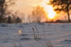 美好的日落在森林里在雪和树中的冬天在雪下的谷物植物由乡下 免版税库存照片