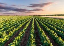 美好的日落的健康大豆草甸 库存图片