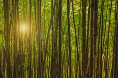 美好的早晨在一个绿色有雾的森林里 免版税库存图片