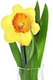 美好的春天唯一花:橙色水仙(黄水仙) 免版税库存照片