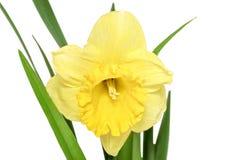 美好的春天唯一花:橙色水仙(黄水仙) 库存照片