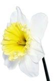美好的春天唯一花:白色水仙(黄水仙) 图库摄影