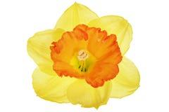 美好的春天唯一花: 橙色水仙(黄水仙) 免版税库存照片