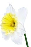 美好的春天唯一花: 白色水仙(黄水仙) 库存照片
