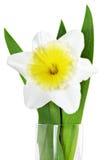 美好的春天唯一花:黄色白的水仙(黄水仙 库存照片