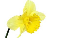 美好的春天唯一花:黄色水仙 库存照片