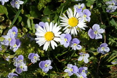 美好的春天开花两棵春黄菊 库存图片