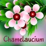 美好的春天开花Chamelaucium 卡片或您的设计与空间文本的 向量 免版税库存图片