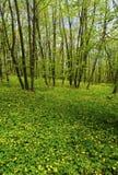 美好的春天森林横向 免版税图库摄影