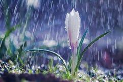 美好的春天白色番红花在春雨中 免版税库存图片
