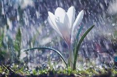 美好的春天白色番红花在春雨中 免版税库存照片