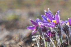 美好的春天紫罗兰开花背景 东部pasqueflower 免版税库存图片