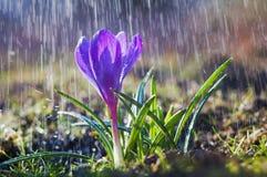 美好的春天蓝色番红花在春雨中 免版税库存照片
