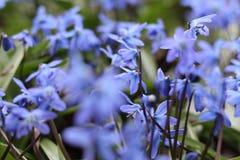 美好的春天蓝色Scilla第一朵花与绿色叶子的在自然情况的解冻的雪特写镜头以后登高 免版税库存图片