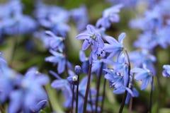 美好的春天蓝色Scilla第一朵花与绿色叶子的在自然情况的解冻的雪特写镜头以后登高 库存图片
