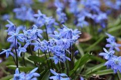 美好的春天蓝色Scilla第一朵花与绿色叶子的在自然情况的解冻的雪特写镜头以后登高 免版税库存照片