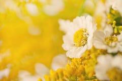 美好的春黄菊背景 免版税库存图片