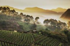 美好的有薄雾的早晨日出在草莓庭院和草莓种田在土井Ang Khang 库存照片