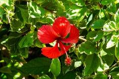 美好的木槿红色 库存图片