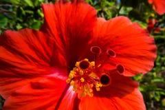 美好的木槿红色 库存照片