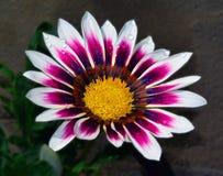 美好的杂色菊属植物 免版税图库摄影