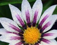 美好的杂色菊属植物 库存照片