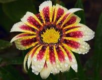 美好的杂色菊属植物 免版税库存图片