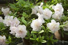 美好的杜娟花绽放在植物园里 免版税库存图片