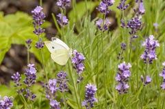 美好的束与一只白色蝴蝶的紫色花在他们中的一个 免版税图库摄影