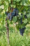 美好的束蓝色葡萄 免版税库存图片
