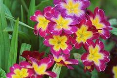 美好的桃红色上色报春花花园 库存照片