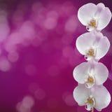 美好的桃红色兰花分支 库存图片