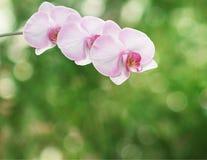 美好的桃红色兰花分支 图库摄影