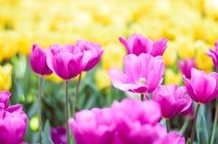 桃红色郁金香在庭院里开花 库存照片