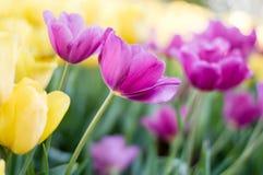 桃红色郁金香在庭院里开花 库存图片