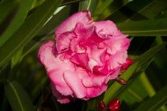 美好的桃红色头状花序关闭与绿色叶子 免版税库存图片