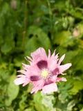 美好的桃红色开放鸦片头状花序 免版税图库摄影