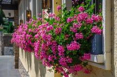 美好的桃红色开花吊击倒的天竺葵  免版税库存图片