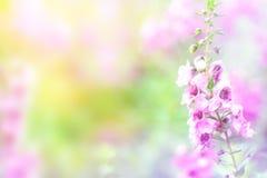 美好的桃红色开花背景 软绵绵地集中 免版税库存照片
