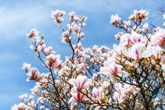 美好的桃红色春天开花在树枝的木兰 免版税图库摄影