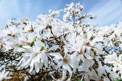 美好的桃红色春天开花在树枝的木兰 免版税库存图片