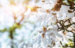 美好的桃红色春天开花木兰 库存照片