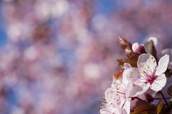 美好的桃红色樱桃绽放。 免版税图库摄影