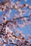 美好的桃红色樱桃绽放。 免版税库存图片