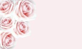 美好的桃红色玫瑰背景为华伦泰` s天 免版税图库摄影