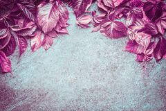 美好的桃红色秋天狂放的葡萄在黑暗的葡萄酒背景,顶视图留下组成 图库摄影